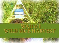 Waji & I Wild Rice Harvest