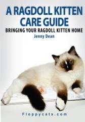 A Ragdoll Kitten Care Guide