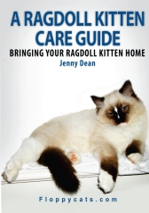 A Ragdoll Kitten Care Guide